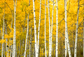 Fall Aspen White River2